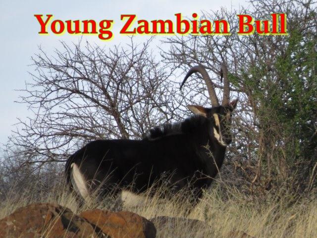 Young zambian bull001jpg