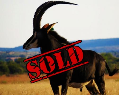Janneman – Tanzanian Bull