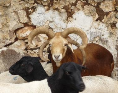 Hunting-Multihorned_Goat-03