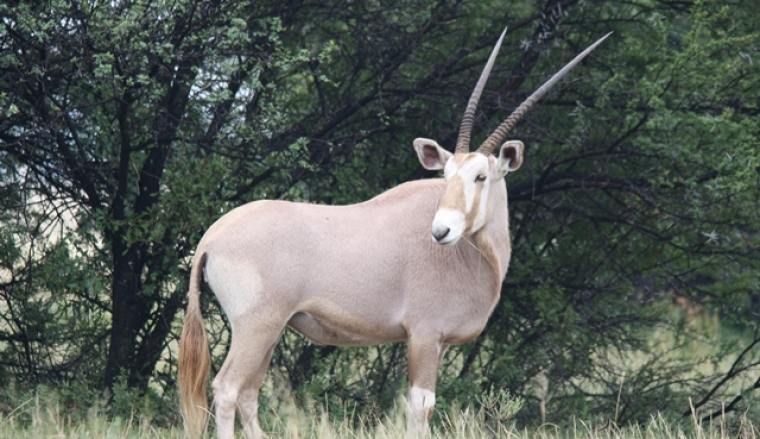 Golden Oryx