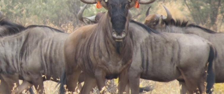"Buffelcor proudly hosting 31 2/8"" blue wildebeest bull"