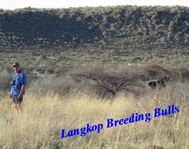 breeding bulls001