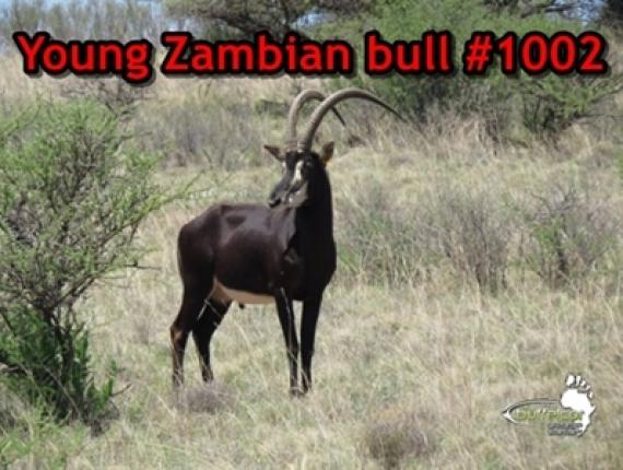 young zambian bull 1002