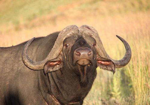 bull boshof 20 May 2017