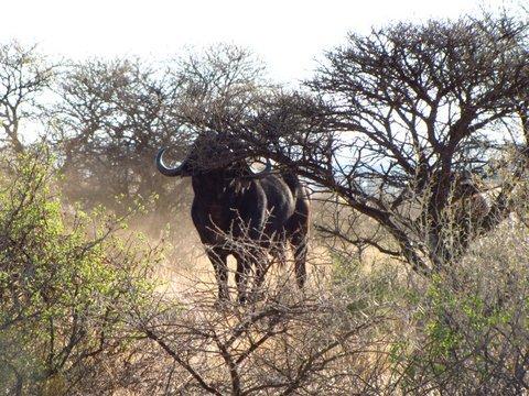 gallery buffalo01