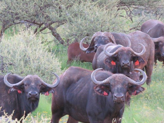 gallery buffels
