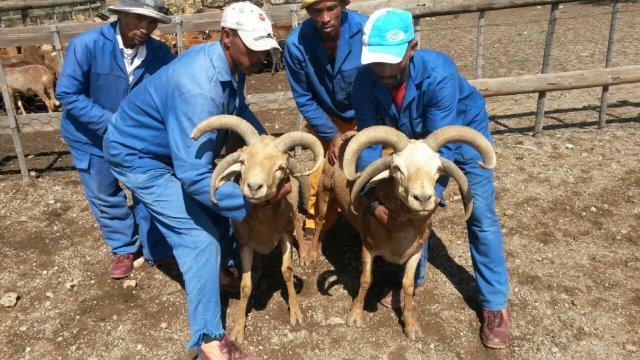 multihorned goat 2